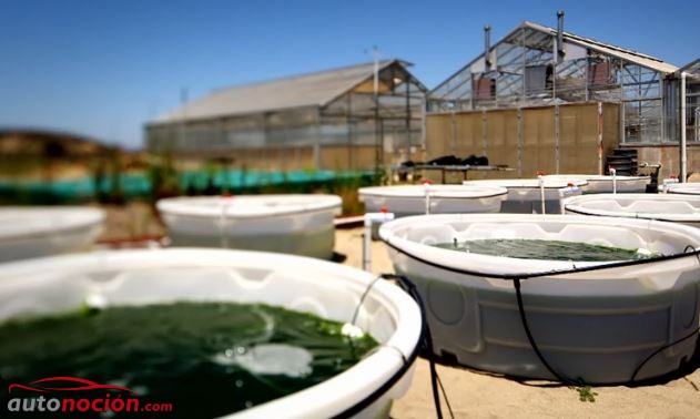¿Podrían ser las algas el futuro en la creación de biocombustibles?